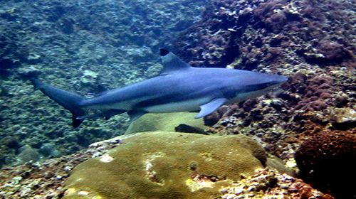 blacktip shark scuba diving phi phi day trip