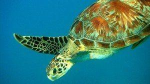 turtle scuba diving phi phi day trip