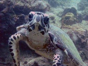Turtles are often sighted while diving in Thailand