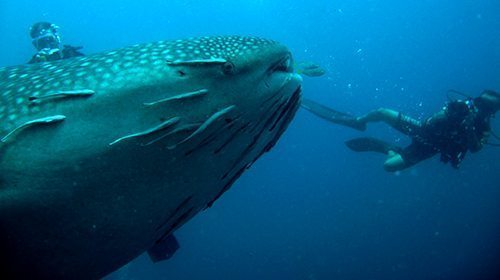 Whale Shark, Richlieu Rock Similan Thailand